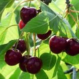 cherry-167344_640