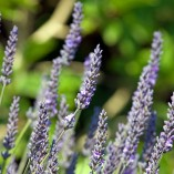 lavender-317037_640