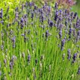 lavender-362121_640