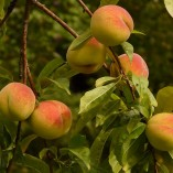 peaches-8985_640