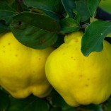 quince-65184_640