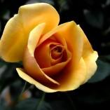 rose-141314_640