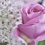 rose-167854_640