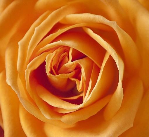 rose-186452_640