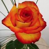 rose-301863_640