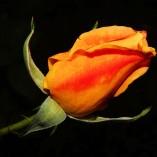 rose-482565_640
