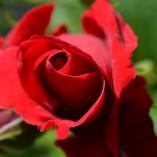 rose-510559_640