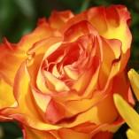 rose-543003_640