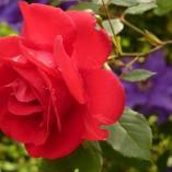 rose-7634_640