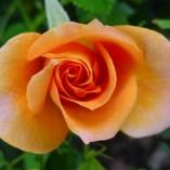 rose-bloom-1055_640