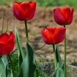 tulip-165008_640