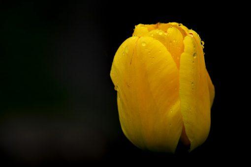 tulip-329712_640