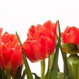 tulips-279717_640