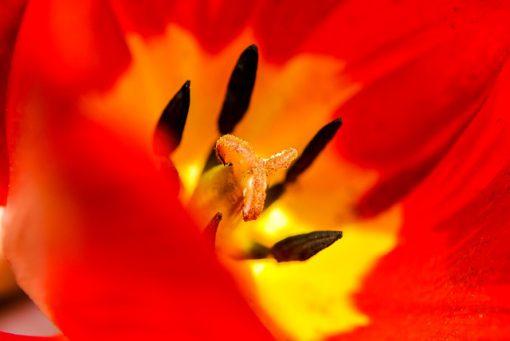 tulipano rosso-giallo
